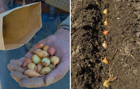 planting sets of onions