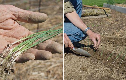 planting onion transplants