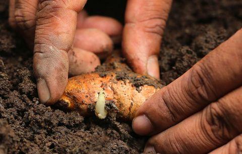 planting a turmeric root or rhizome
