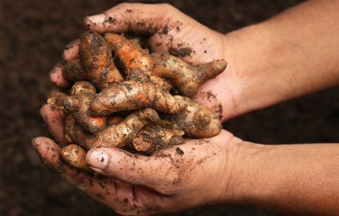 Freshly harvested turmeric root with dirt