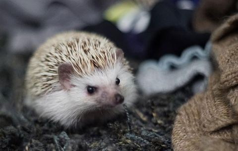 What It's Like Having a Hedgehog as a Pet - Caring for a Pet Hedgehog
