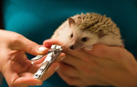 Hedgehogs require special care to keep them clean and happy.