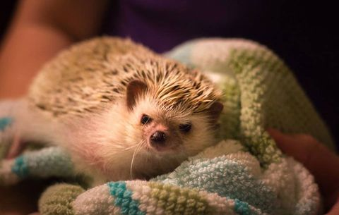 Hedgehogs love to cover themselves in smells, so it's necessary to bathe them from time to time.