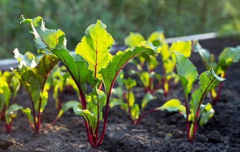 beet greens growing from soil