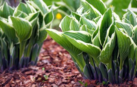 How To Grow Hostas Where To Plant Hostas In Your Garden