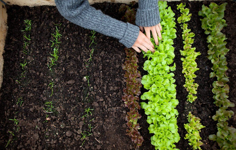 How To Grow Nutritious Lettuce Greens All Year Long Rodales
