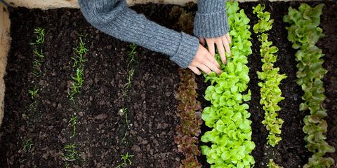 growing lettuce in a raised bed