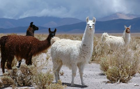 6 Things to Know About Pet Llamas and Alpacas - Getting a