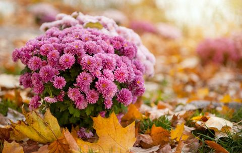 mums in the fall