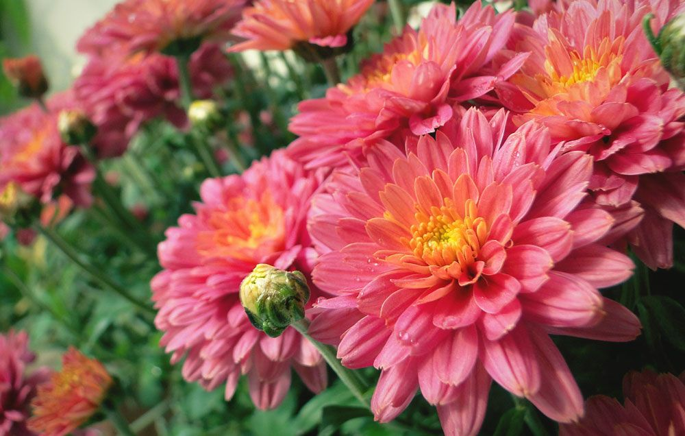 How To Grow Mums As Perennials Planting Mums In The Fall