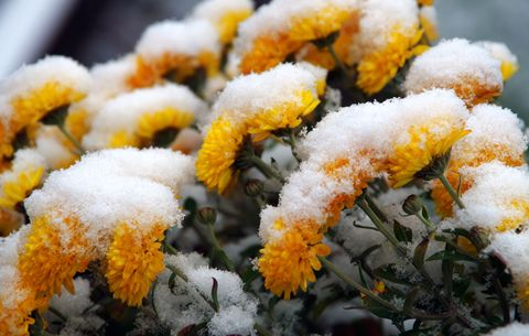 mums in winter