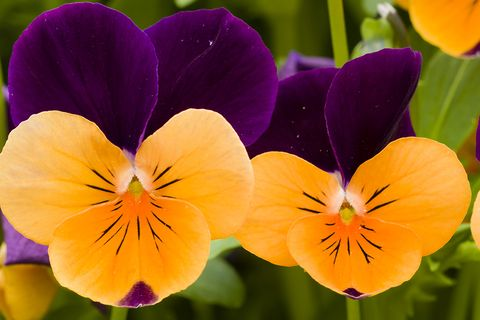 How to grow pansy flowers when and where to plant pansies pansies mightylinksfo