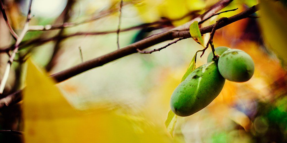A Beginner's Guide To Growing Pawpaw—The Delicious Fruit You're Not Eating