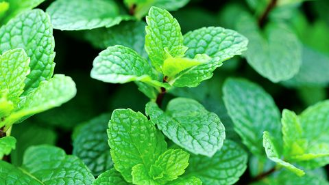 8 Plants That Repel Mosquitoes - Natural Mosquito Repellent Plants