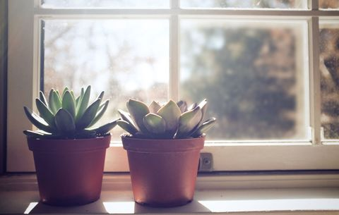 Succulents In Sunny Window