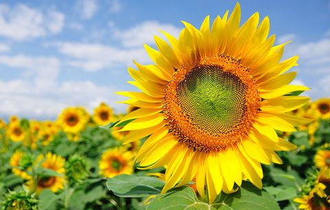 how to grow and use sunflowers harvesting and drying out sunflower