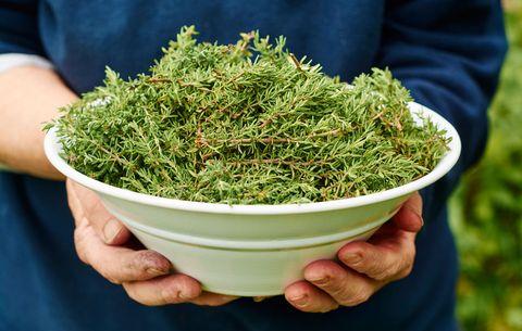 harvesting thyme