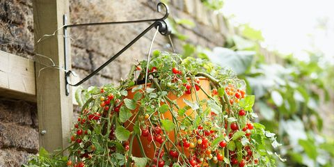 cherry tomatoes in a hanging basket