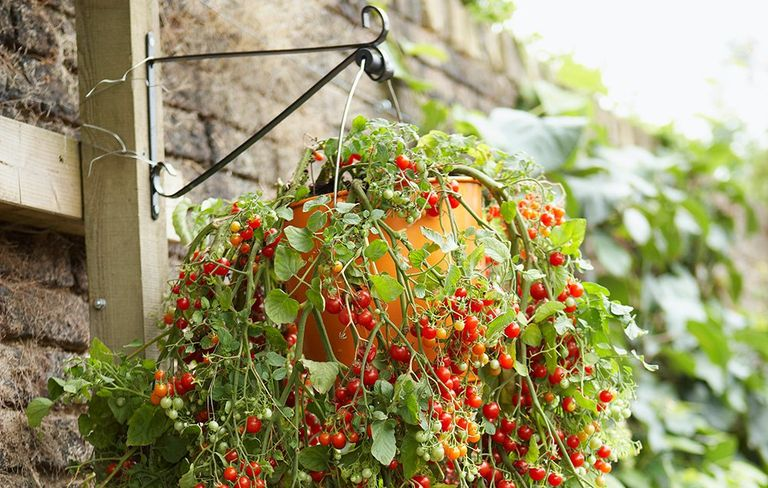 7 fruits and vegetables you can grow in hanging baskets rodales cherry tomatoes in a hanging basket workwithnaturefo