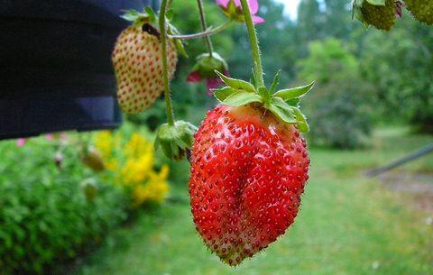 Strawberries Growing In Hanging Basket