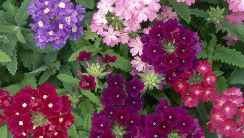 18 Summer Flowers That Bloom All Season - Full-Sun Annuals ...