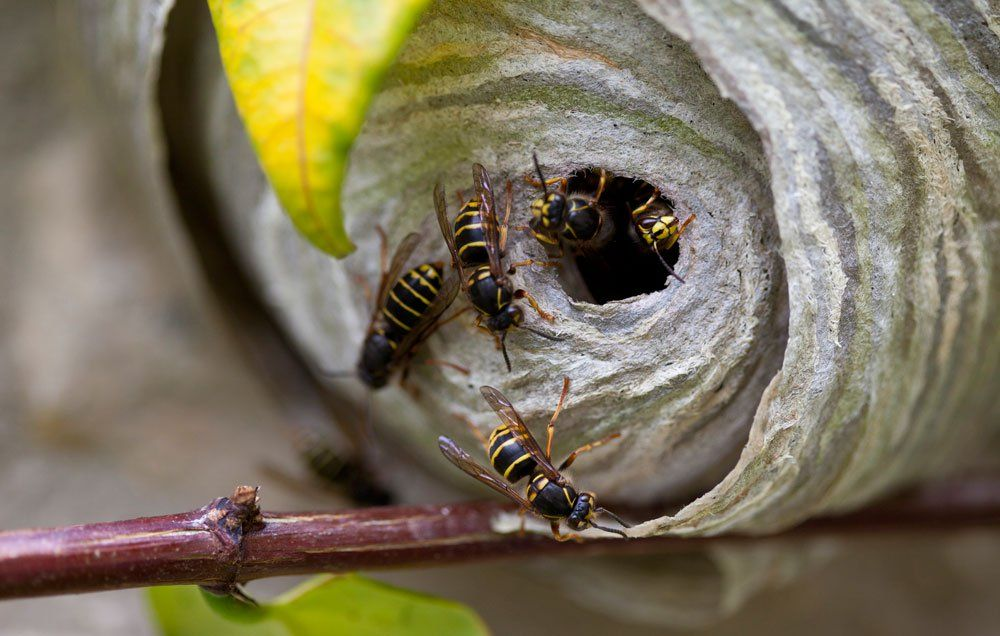 How to Get Rid of a Wasps Nest - How to