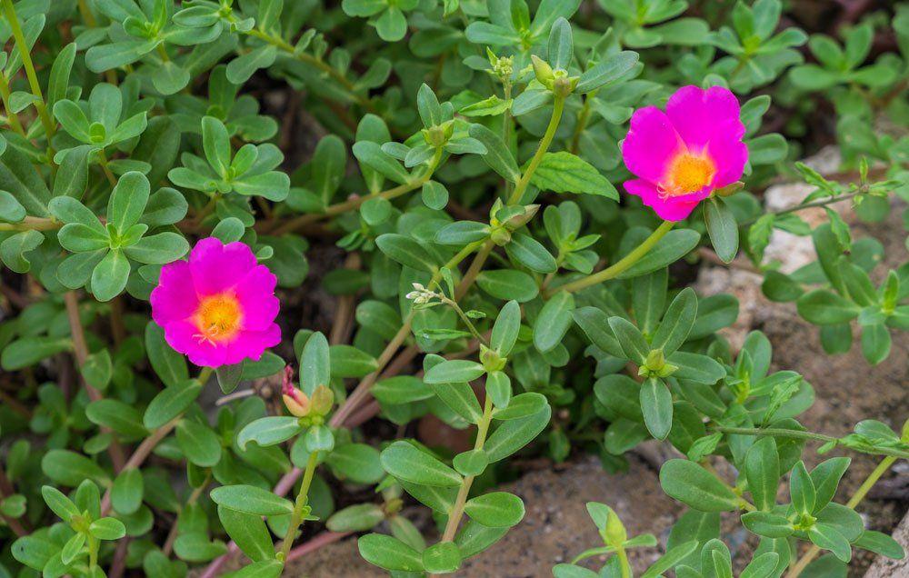 8 Backyard Weeds You Can Actually Eat Rodales Organic Life