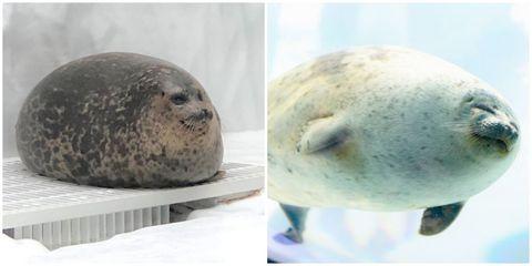 Seal, Harbor seal, Marine mammal, Earless seal, Baltic gray seal, Snout, Bearded Seal, Rock,
