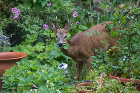 A lone, young Roe Deer (Capreolus capreolus) eats the leaves of strawberry plants in a country garden