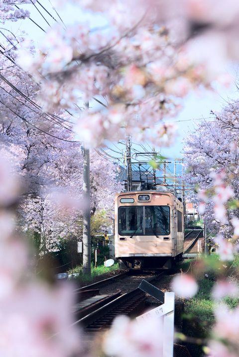 поезд, проходящий сквозь деревья сакуры