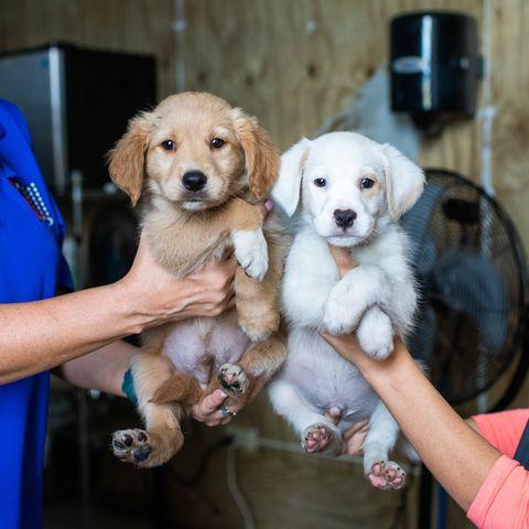 Dog, Mammal, Vertebrate, Canidae, Dog breed, Golden retriever, Carnivore, Companion dog, Retriever, Puppy,