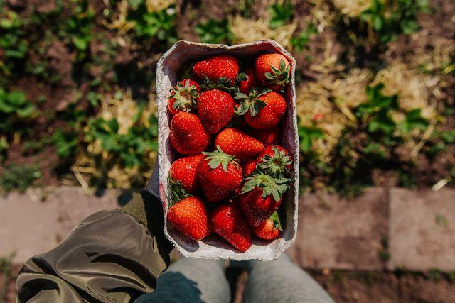 aardbeien plukken vers bewaren