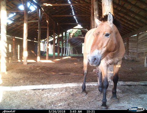 chernobyl Przewalski's horse