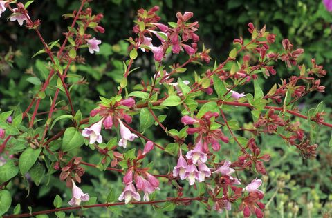 Abelia schumannii, purple and white flowers