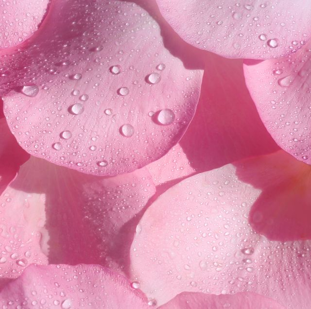 fragrant pink rose petals with water drops in square format filling frame