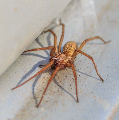 The American House Spider