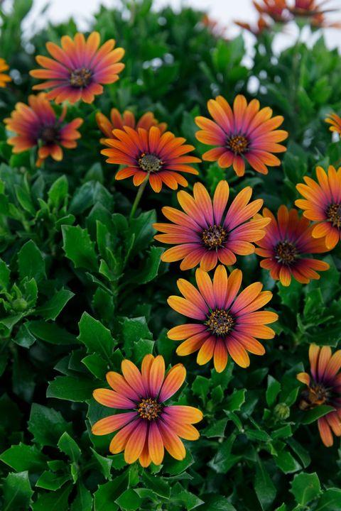 African Daisy plant, Osteospermum Purple Sun - Chelsea Flower Show 2019 new plant