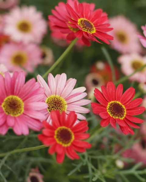 african daisy types
