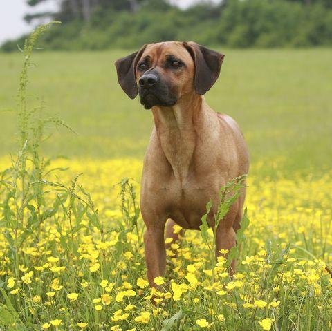 african-dog-breeds-Rhodesian-Ridgeback