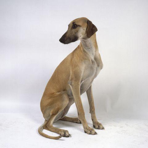 african-dog-breeds-sloughi