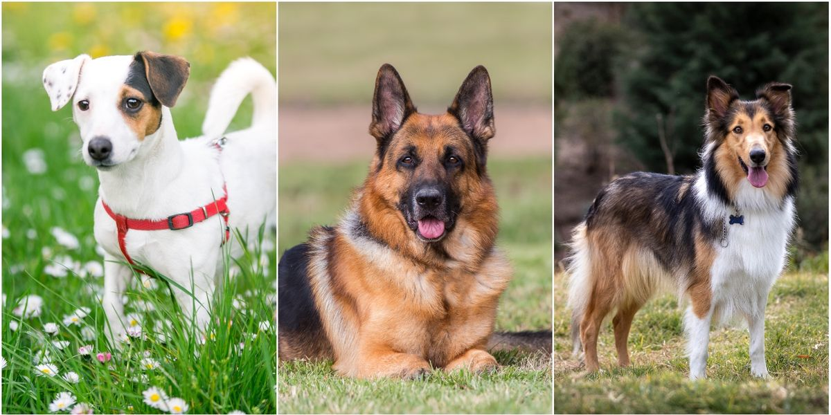 23 most aggressive dog breeds named in new study