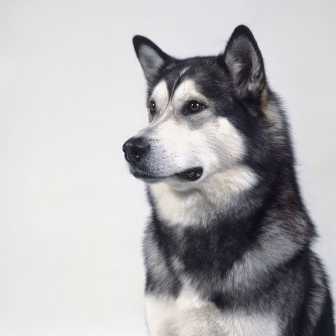 aggressive dog breeds - Alaskan Malamute