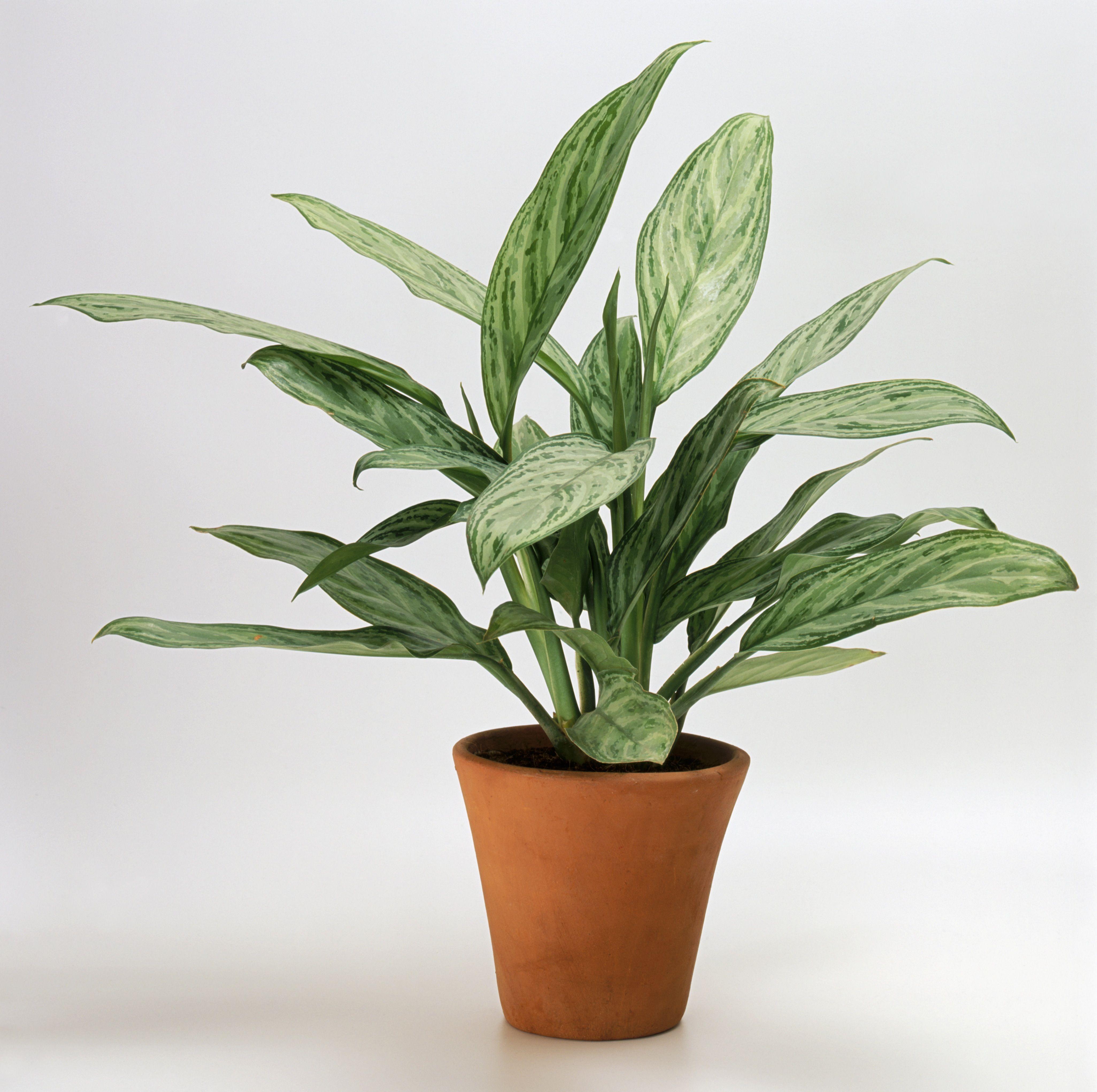 Aglaonema 'Lilian' (Chinese evergreen) in terracotta pot