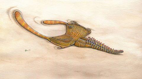 Stylophoran drawing