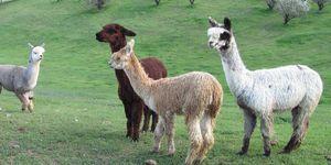 Alpaca's - Deze Airbnb is een Alpaca-boerderij