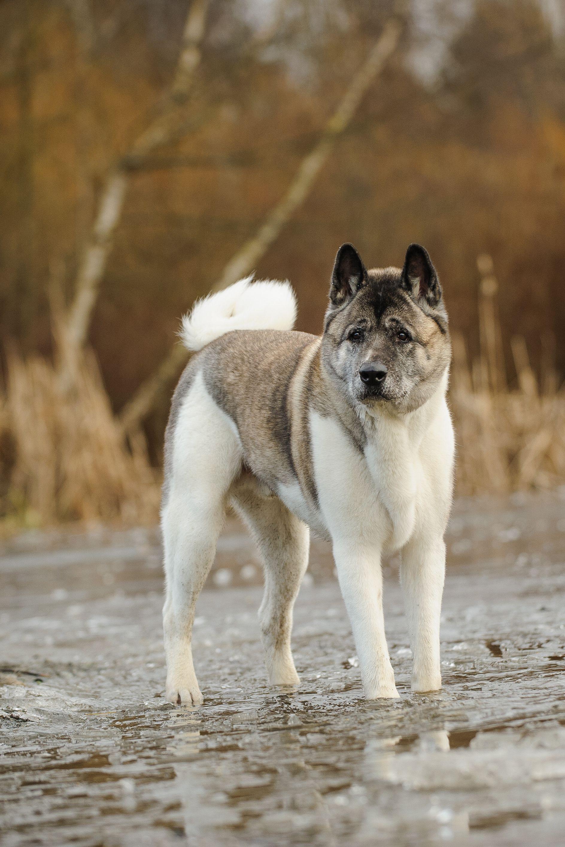 Акита - собака для охраны частного дома