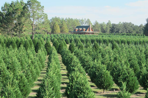 thuya, canadian fir, tree, plant, plantation, woody plant, crop, shrub, evergreen, cash crop,