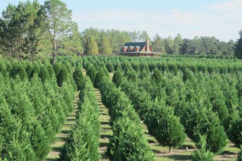 thuya, canadian fir, tree, plant, plantation, woody plant, crop, shrub, evergreen, cash crop,