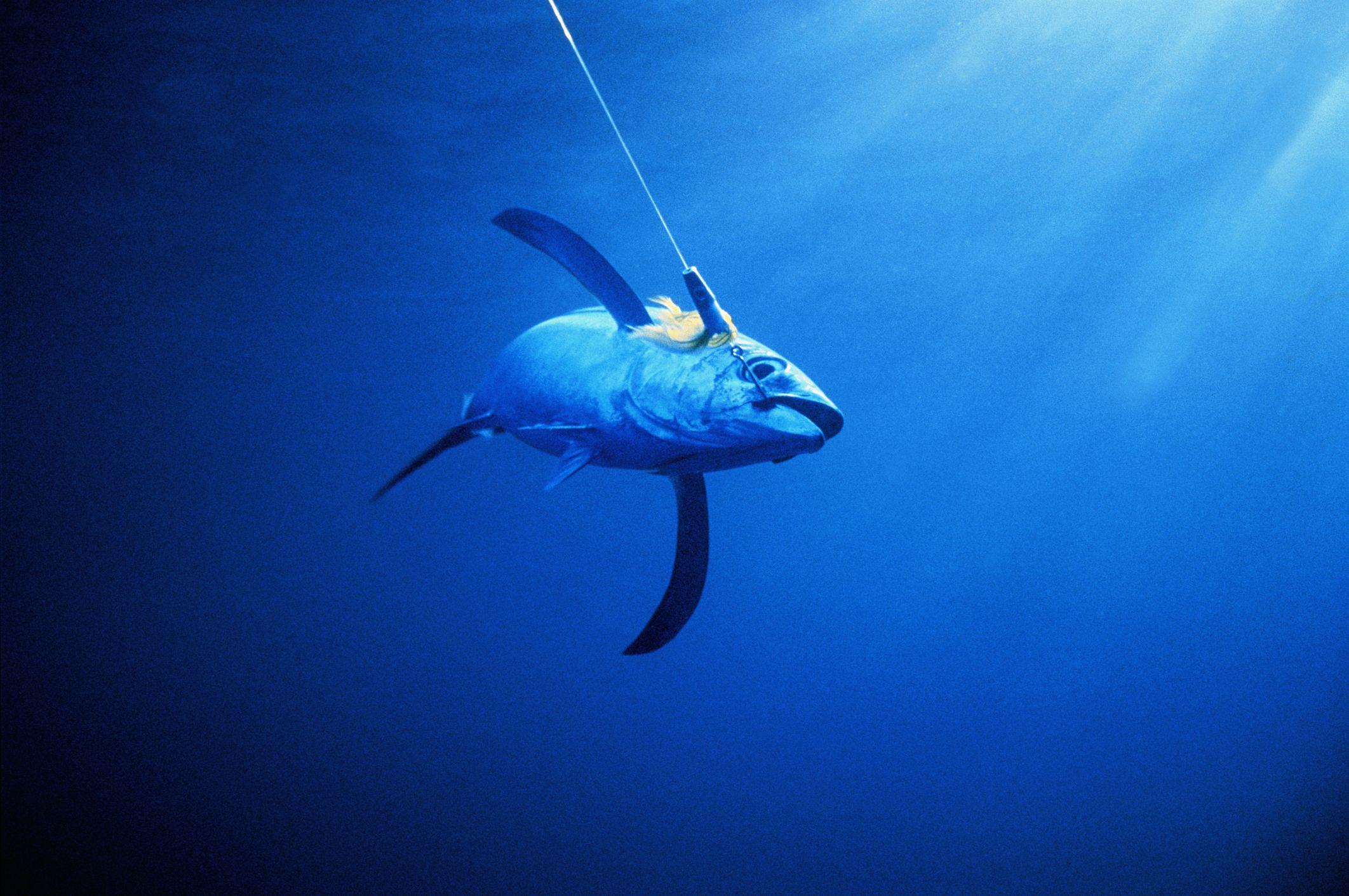 Albacore tuna caught by fishing hook,Bay of Plenty,New Zealand