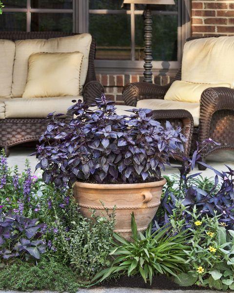 albahaca púrpura